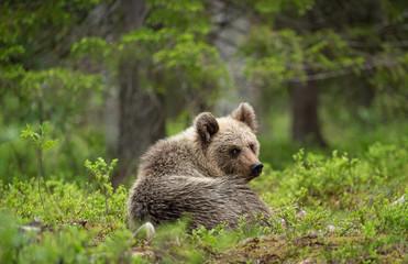 European brown bear cub (Ursus arctos) in forest in Finland