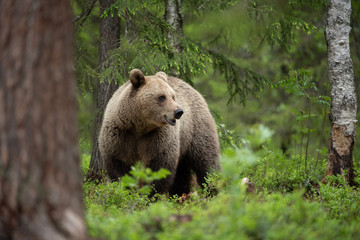 European brown bear (Ursus arctos) in forest