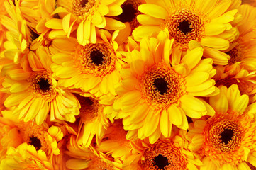 Summer/autumn blossoming gerbera flowers yellow background, bright fall floral card, selective focus