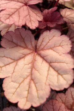 Vertical closeup of the foliage of 'Purple Majesty' alumroot (Heuchera 'Purple Majesty')