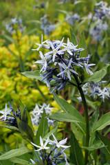 Vertical closeup of the flowers of stiff bluestar (Amsonia rigida) in a garden setting