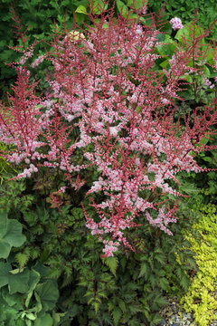 Vertical image of a clump of 'Delft Lace' astilbe (Astilbe 'Delft Lace') in flower in a garden setting