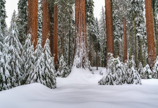 Snowy Giants