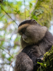 Canvas Prints Golden Monkey in the Virunga volcanic mountains of Central Africa