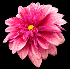 Poster Rose flower isolated pink dahlia on the black background with clipping path. For design. Closeup. Nature.