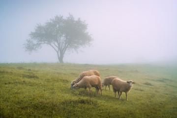 Fototapeta Herd of sheeps on a meadow