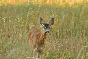 Foto auf Acrylglas Reh Roe buck walking hidden in the high grass close up