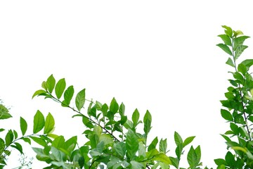 Tropical tree leaves on white isolated background for green foliage backdrop