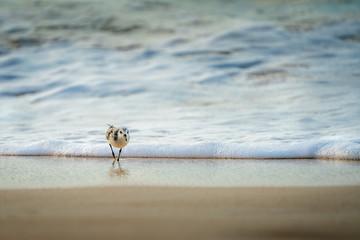 Sandpiper (Sanderling)