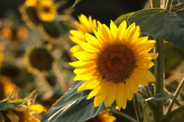Fototapete - Sunflower - Helianthus annuus in the field at sunset