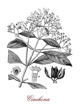 Chincona  medicinal plant source for quinine native to the Andean forest, has opposite lanceolate leaves, the flowers are small and the fruit is a capsule with seeds.