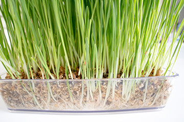 Plant wheat with roots on white background