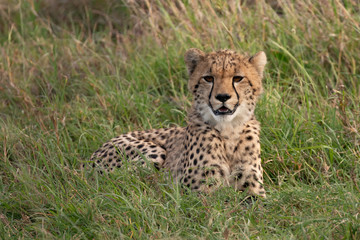 portrait picture of a cheetah in the grass
