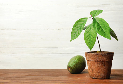 Young avocado sprout with leaves in peat pot and fruit on table against white wooden background. Space for text