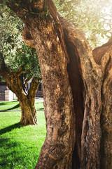 vintage secular olive tree trunk
