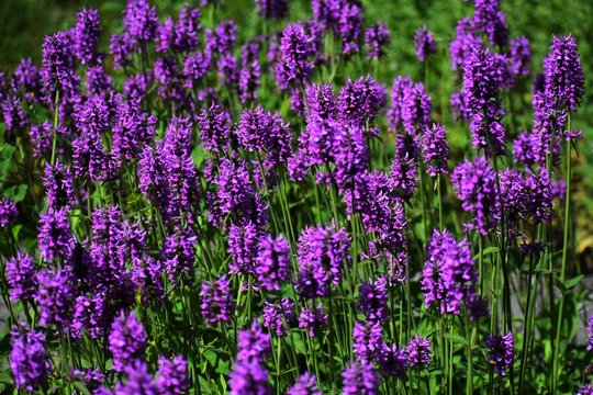 Stachys Officinalis is a perennial grassland herb in the family Lamiaceae, commonly known as Common Hedgenettle, Betony, Purple Betony, Wood Betony or Bishopwort.