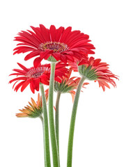 Printed roller blinds Gerbera Bouquet of red gerberas on a white background, close-up.