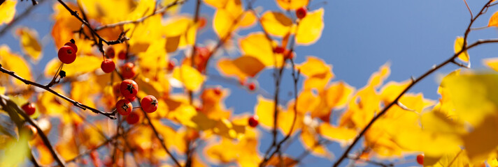 Garden Poster Orange Yellow and red autumn leaves of a tree against blue sky. Fall foliage in sun.