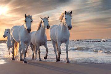 Foto auf AluDibond Pferde White horses in Camargue, France.