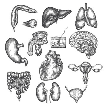 Hand drawn illustration of human organs Internal organ, skin and eye. Vector sketch isolated illustration. Anatomy symbols set. Medical pictures.