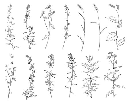 Hand drawn set of wild herbs. Outline plants drawing, botanical vector illustration. Black isolated on white background.
