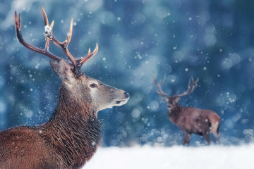 Wall Mural - Noble deer male in winter snow forest. Winter christmas image. Winter wonderland.