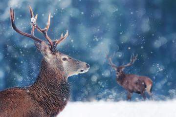 Fototapete - Noble deer male in winter snow forest. Winter christmas image. Winter wonderland.