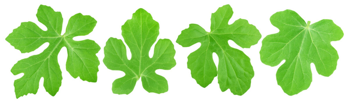 Set of watermelon leaves isolated on a white.