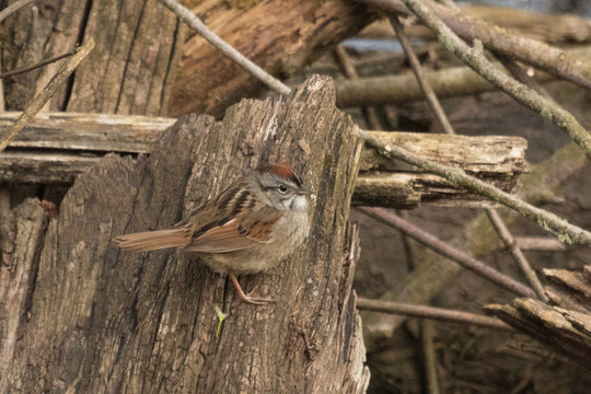 Swamp Sparrow in Pennsylvania