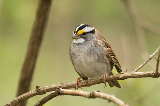 White Throated Sparrow in USA
