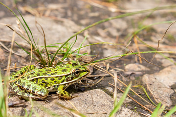 A northern leopard frog is very still
