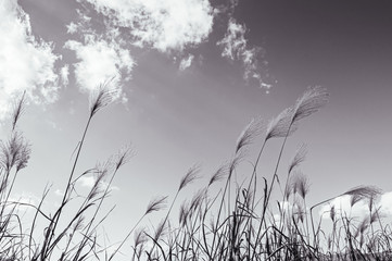 Fluffy grass flowers against winter sky with clouds Wall mural