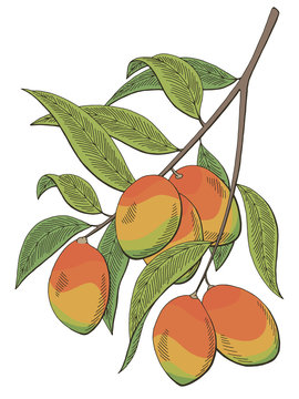 Mango fruit graphic branch color isolated sketch illustration vector