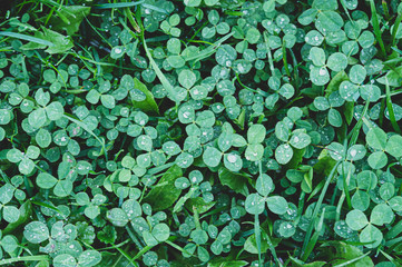 four-leaf clover, St. Patrick's day texture, tinted image, selective focusing