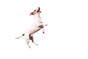 Funny Jack Russell Terrier dog jumping up isolated on white background Wall mural