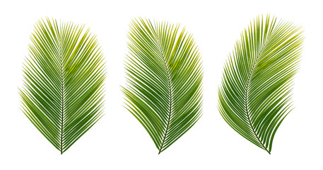 set tropical coconut  leaves,Green leave of palm tree on white background.  isolated on white background. This has clipping path.Summer leaf concept in Hawaii Fototapete