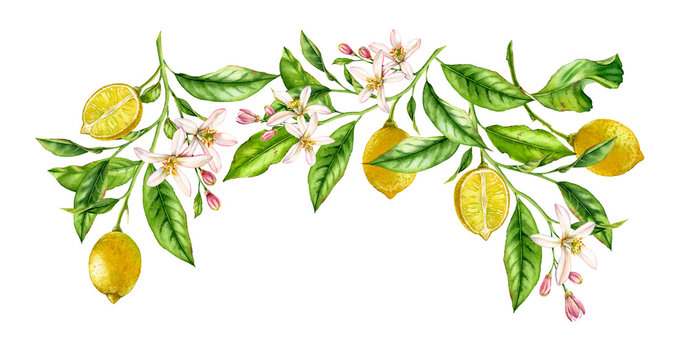 Lemon fruit branch frame composition. Realistic botanical watercolor illustration with citrus tree and flowers, hand drawn isolated floral design on white