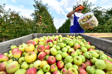 Apfelernte auf Plantage // harvesting fresh apples on a plantation - workers, fruit trees and boxes of apples