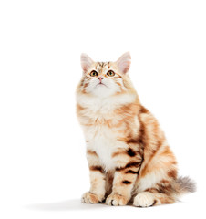 Siberian cat, a kitten sitting and looking up. Isolated