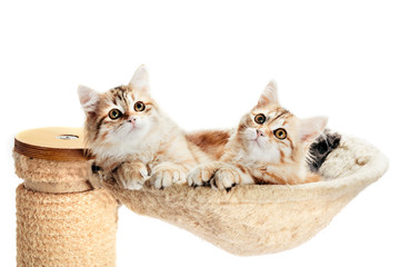 Siberian cats, two kitten from same litter lying in their den. Isolated