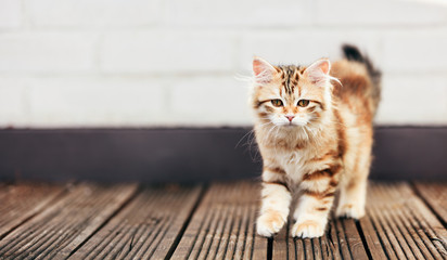 A kitten - Siberian cat walking on wooden terrace
