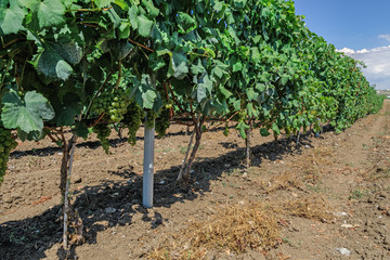 Wine estate vineyard plantation system with grape vines and plants rows. Plantation with green grapes on trellis formation, used for viticulture vineyard production in Chalkidiki Peninsula, Greece.