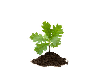 Small oak tree in pile of soil isolated on white, studio shot. Planting new trees. Environmentally friendly lifestyle and renewing forest concept. Lot of copy space.