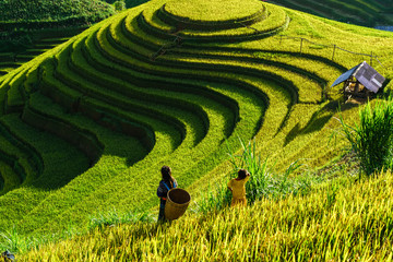 Poster Rice fields Terraced rice field in harvest season in Mu Cang Chai, Vietnam. Mam Xoi popular travel destination.