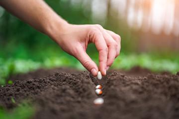 Fototapeta Hand planting beans seed in the vegetable garden. Growing vegetables obraz
