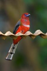Red-headed Trogon bird on a tree branch