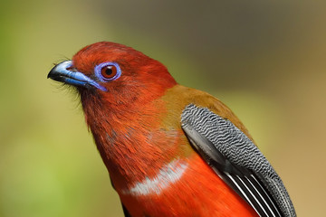 Red-headed Trogon bird close up