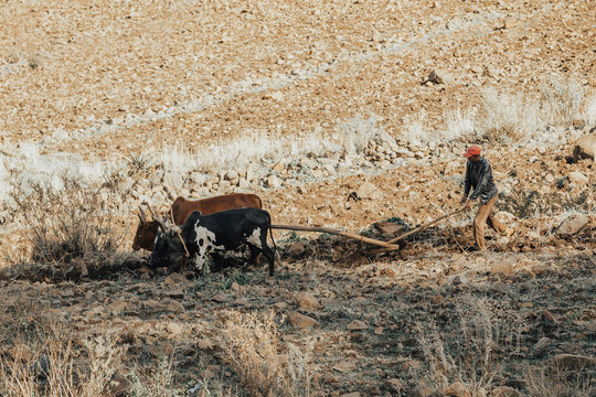 Ethiopian farmer plows fields with cows