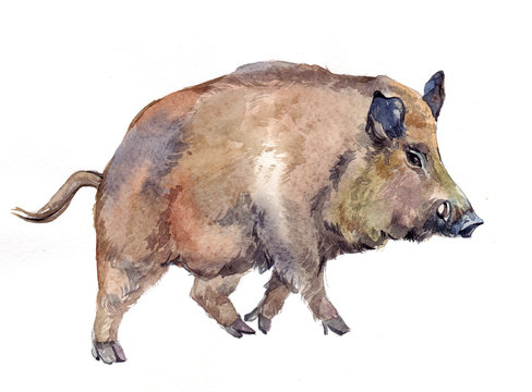 Watercolor single wild boar pig animal isolated on a white background illustration.