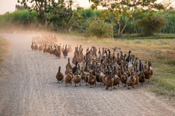 Fototapeta Flock of ducks herding on dirt road